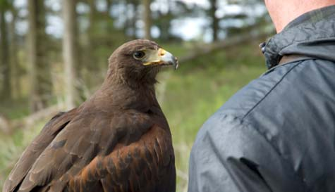 falconry in  stag party activity 1